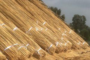 Riet ligt klaar om op het dak gebonden te worden | Rietdekkersbedrijf Scholman